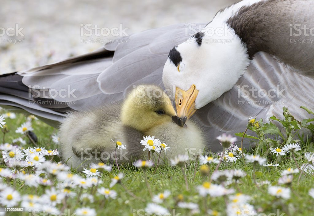 Bar-headed Goose with Chick ( Anser indicus ) stock photo