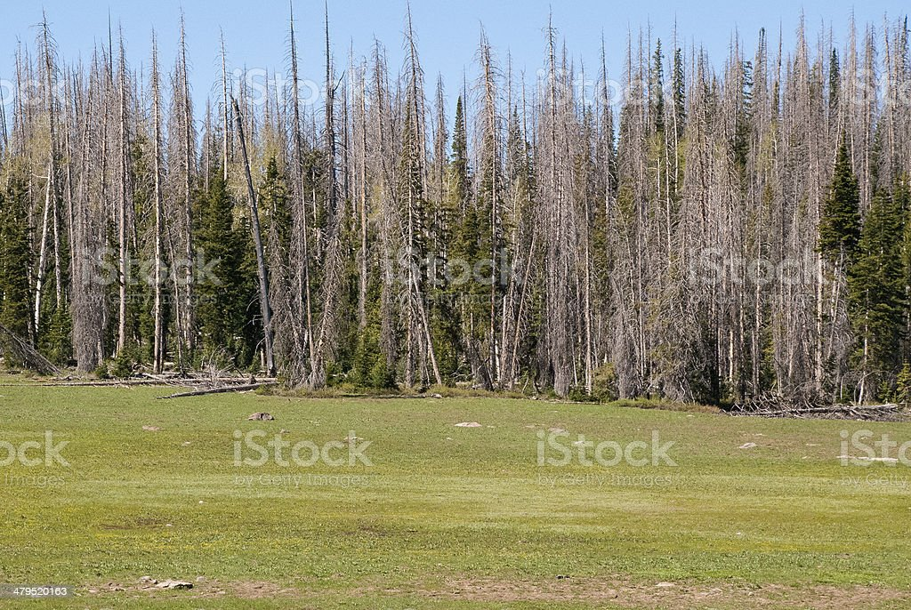 Bark Beetle Infested Forest near Cedar Breaks National Monument Utah stock photo