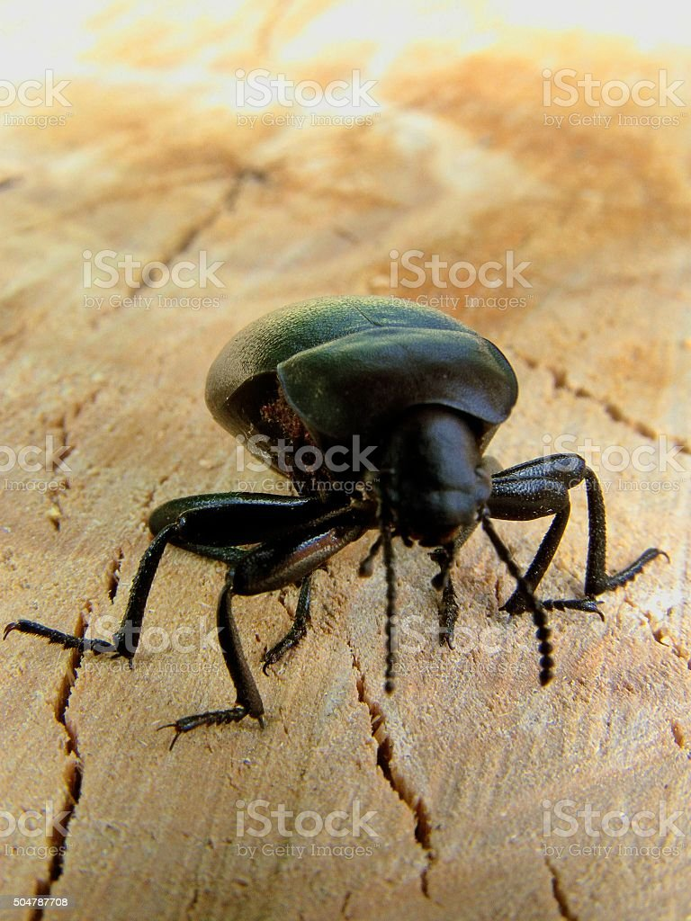 bark beetle stock photo