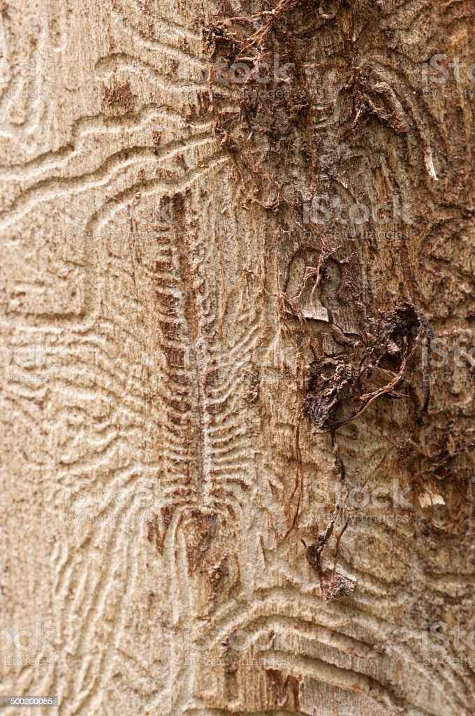 Bark beetle tunnels stock photo