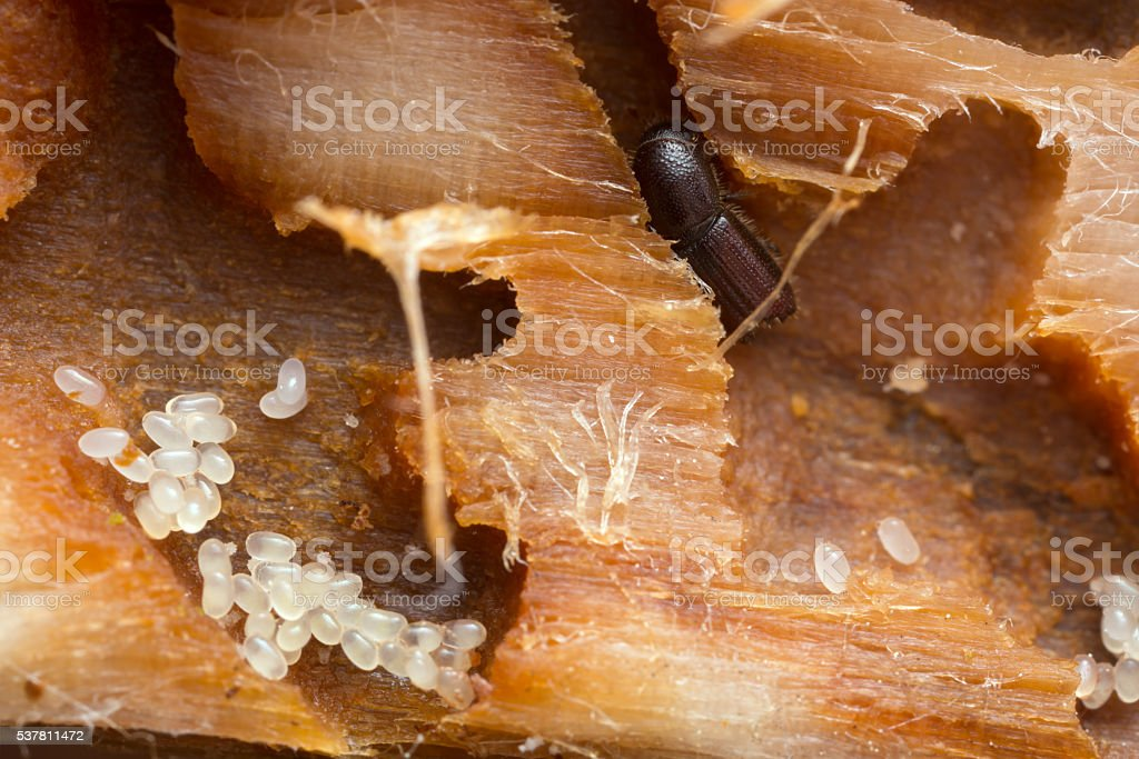 Bark borer and eggs in wood. stock photo
