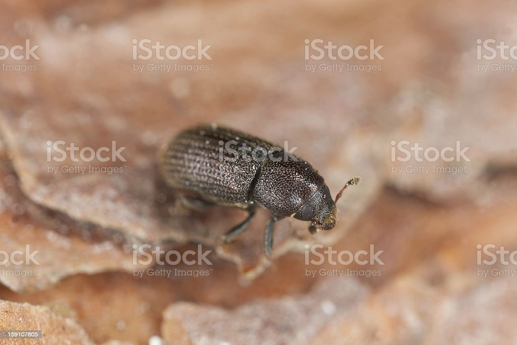 Bark borer beetle on wood, extreme close-up stock photo