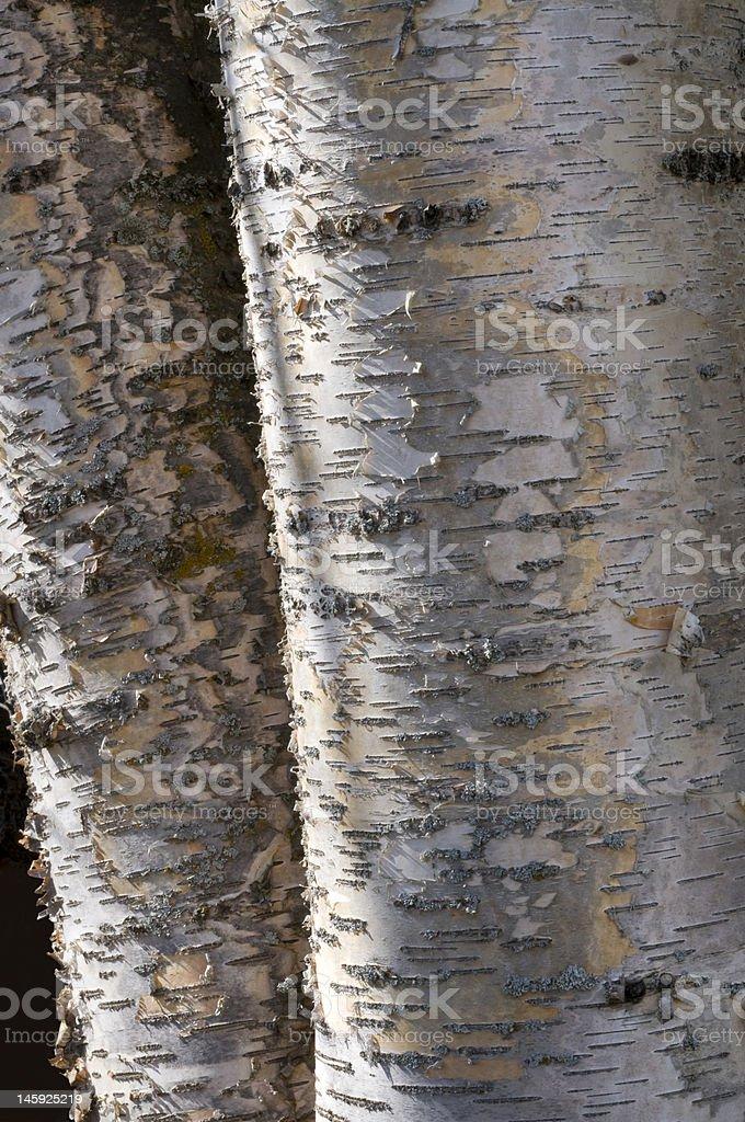 Écorce détail de bouleaux photo libre de droits