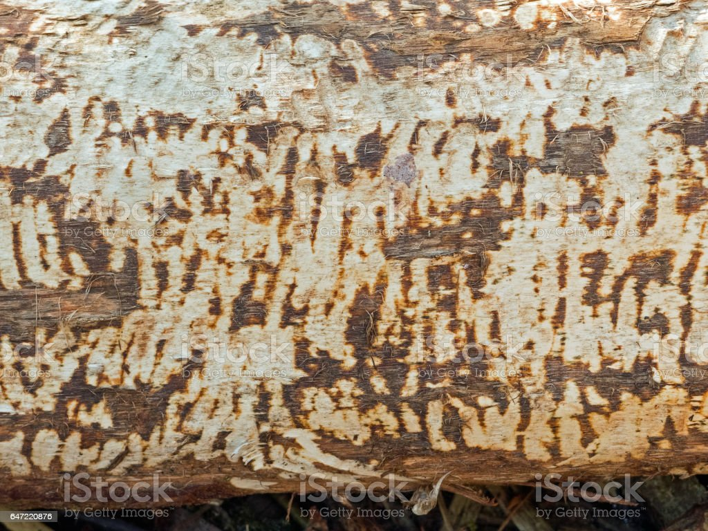 Bark gnawed off by a beaver: Traces of teeth cuts stock photo