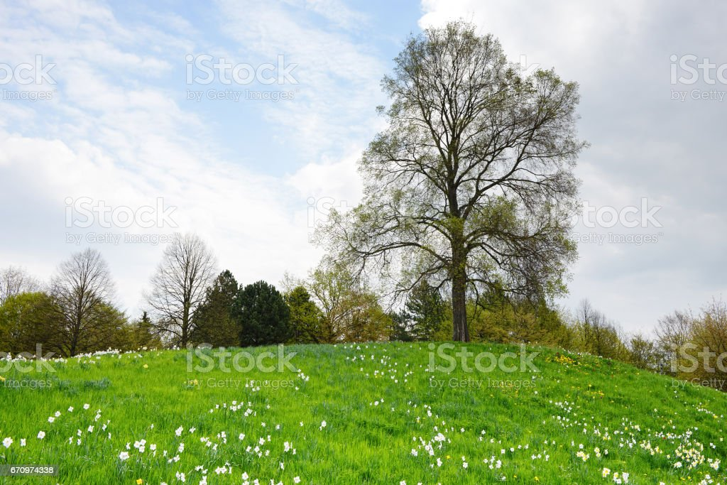 bark limetree with meadow of daffodils stock photo
