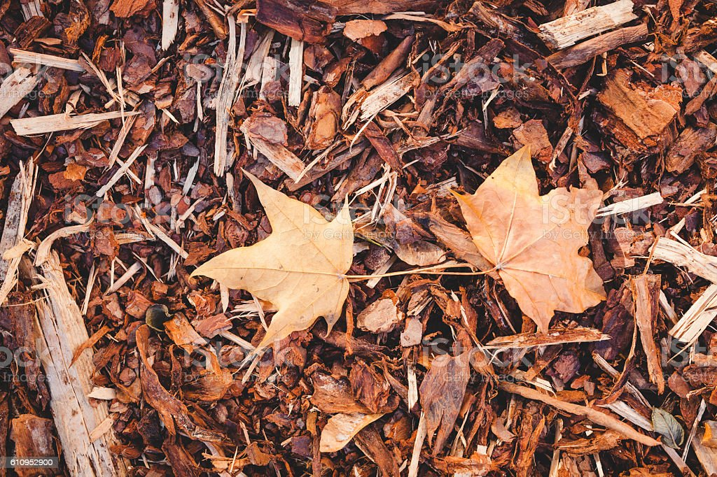 Bark mulch and autumn maple leaves stock photo