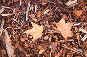 Bark mulch and autumn maple leaves