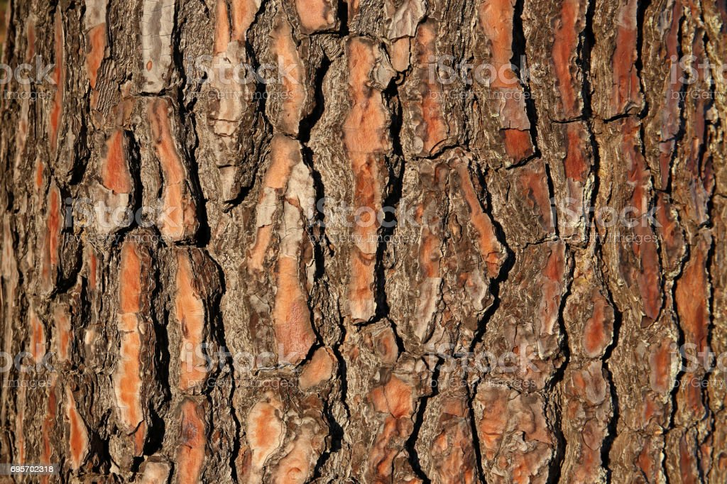 Bark of a Fir Tree, Uruguay stock photo