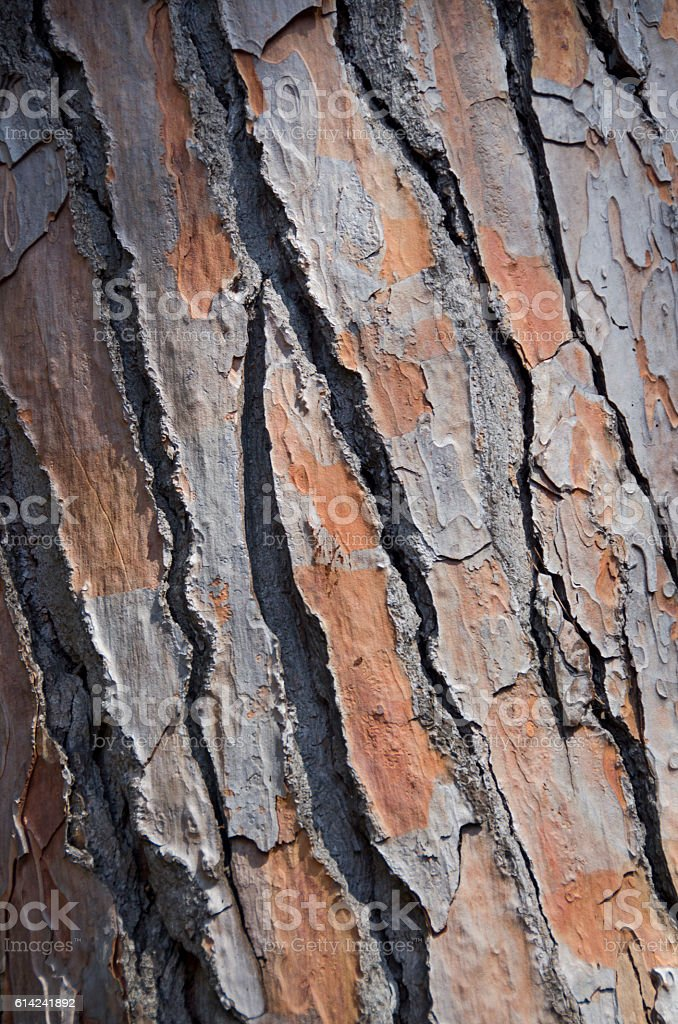 Bark of a Mediterranean Pine Tree stock photo
