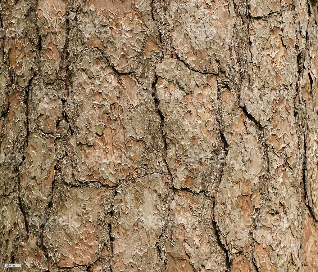 bark of a pine royalty-free stock photo