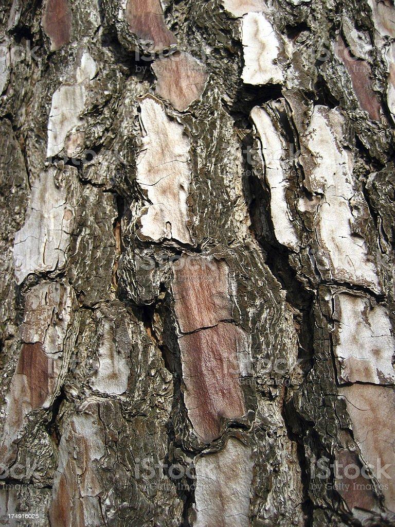 Bark of a Pine tree royalty-free stock photo