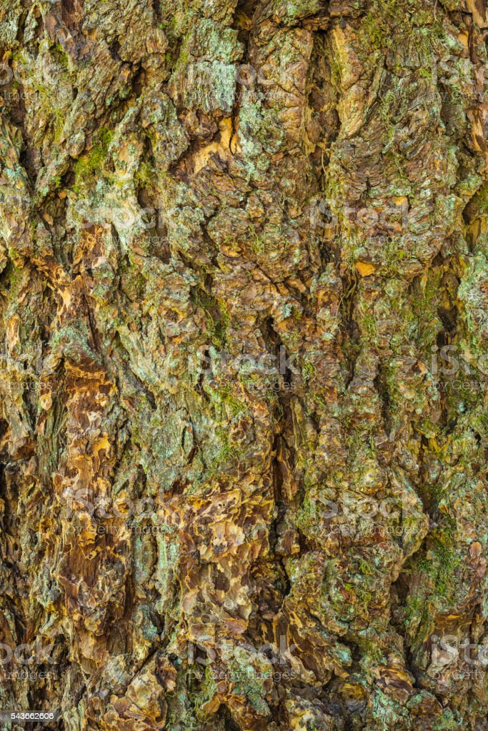 Bark of a plane tree stock photo