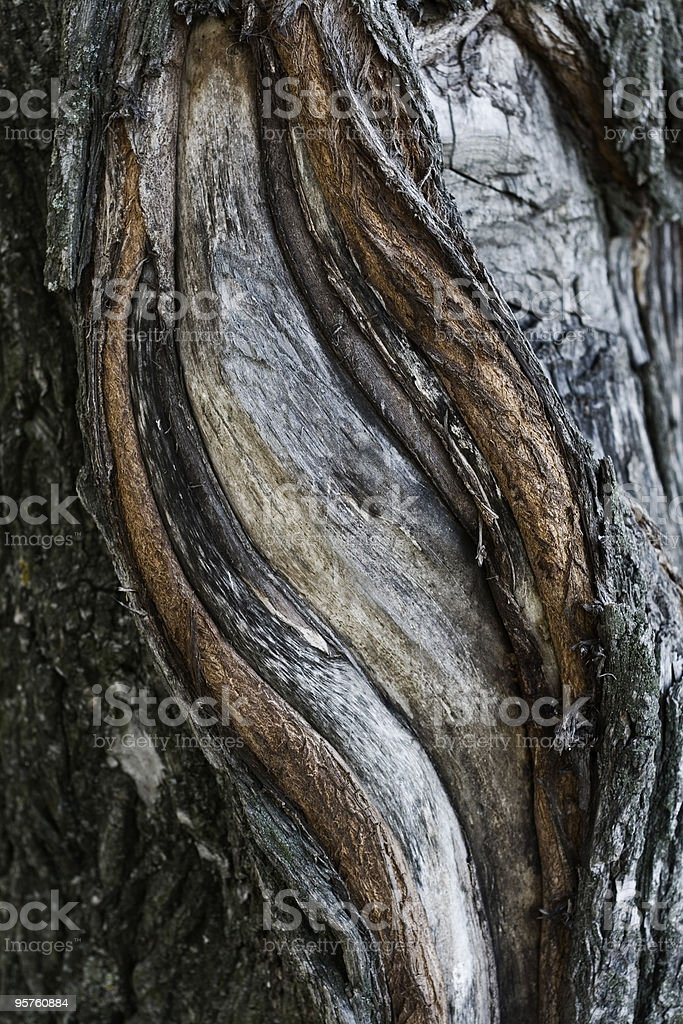 Bark of a tree an willow royalty-free stock photo