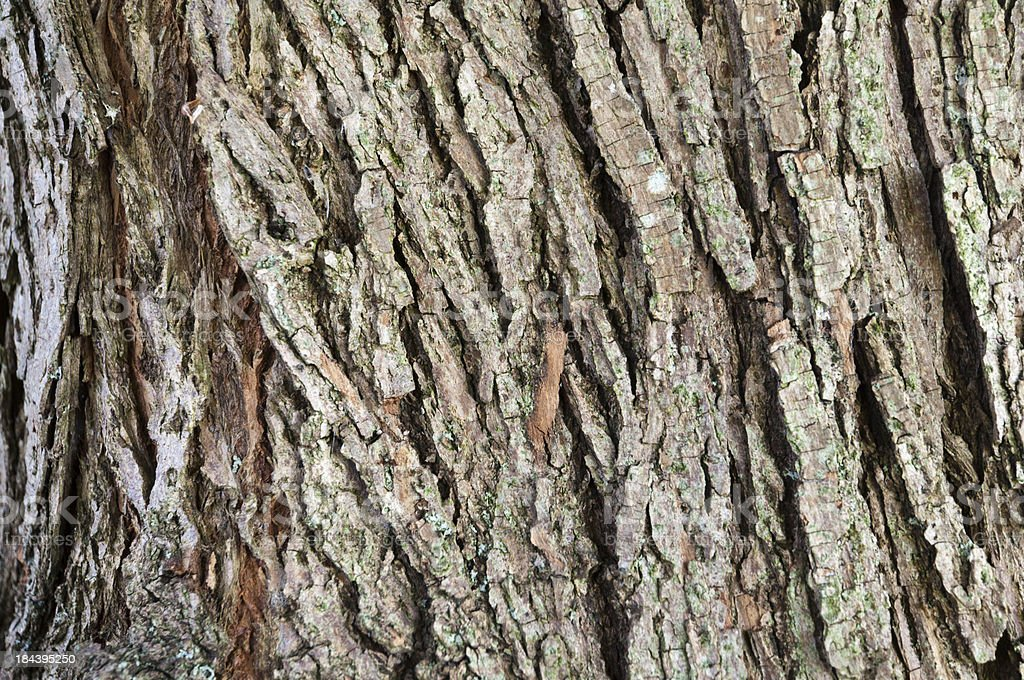 bark of a willow, Salix stock photo