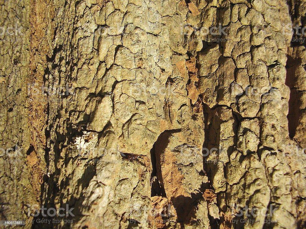 Bark of an Acacia Tree stock photo