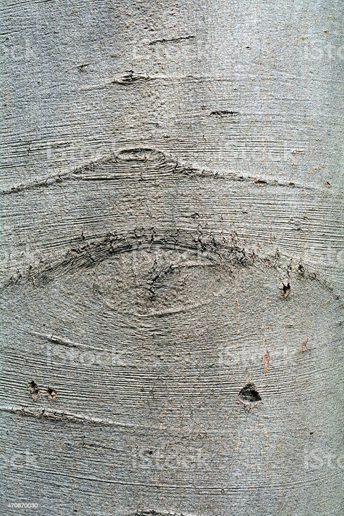bark of an beech tree, background texture stock photo