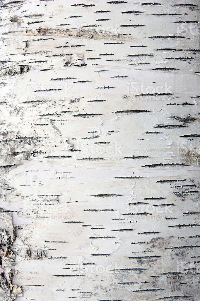 bark of birch stock photo