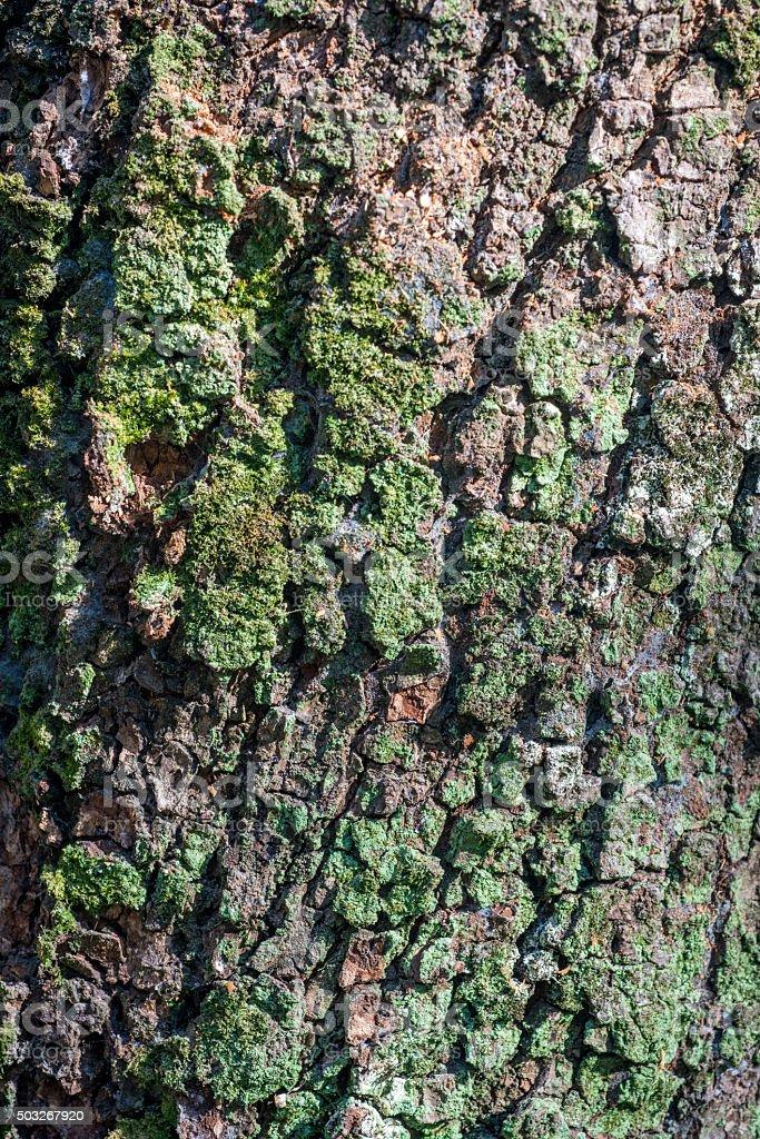 Bark of camphor tree stock photo