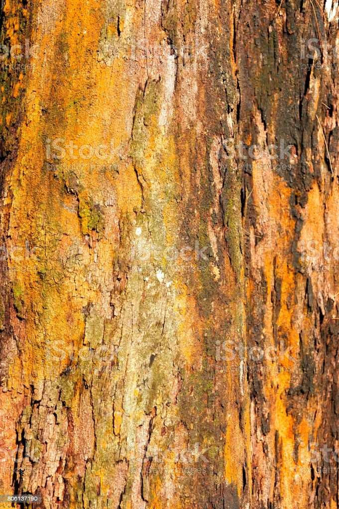 Bark of Casuarina Tree stock photo