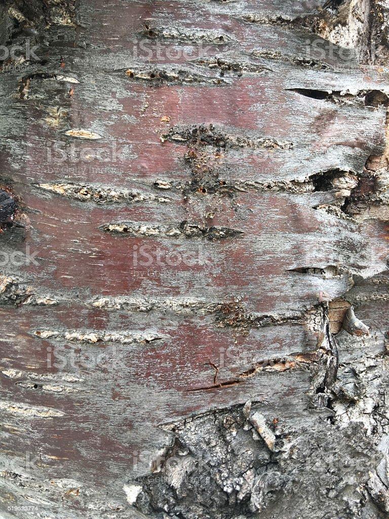 bark of cherry tree, Prunus avium, macro texture stock photo