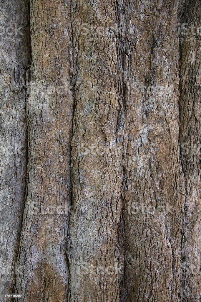 Bark of Irvingia malayana tree royalty-free stock photo
