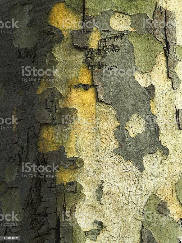 Bark of London plane tree royalty-free stock photo