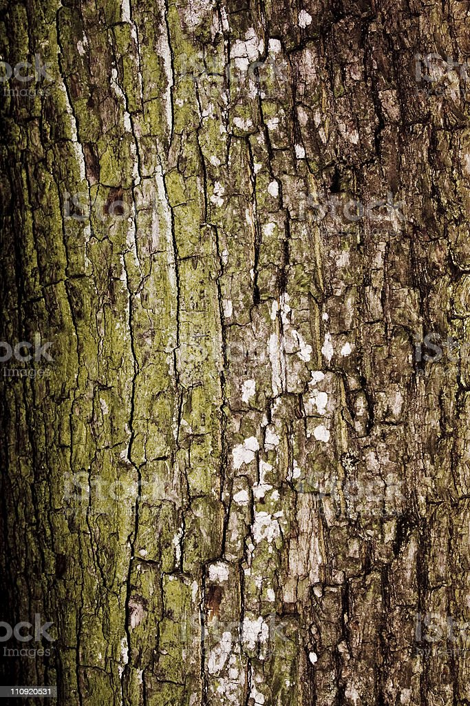 Bark of Pine Tree royalty-free stock photo