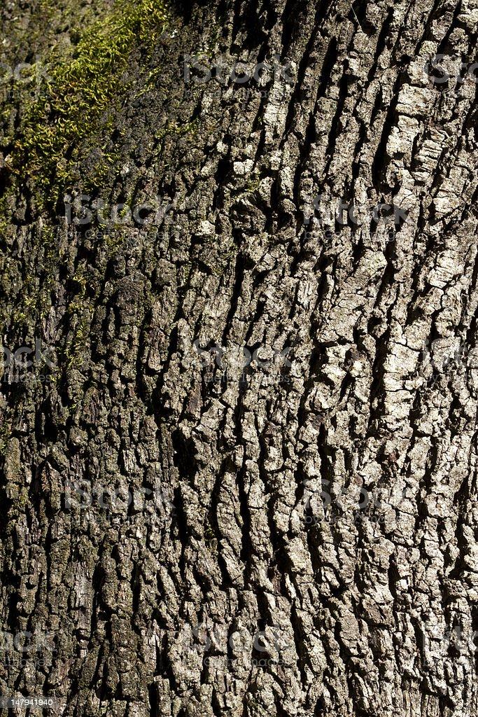 bark of Quercus ilex with moss stock photo