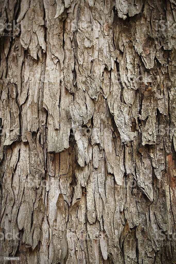 Bark of rain tree - highly detailed photograph stock photo