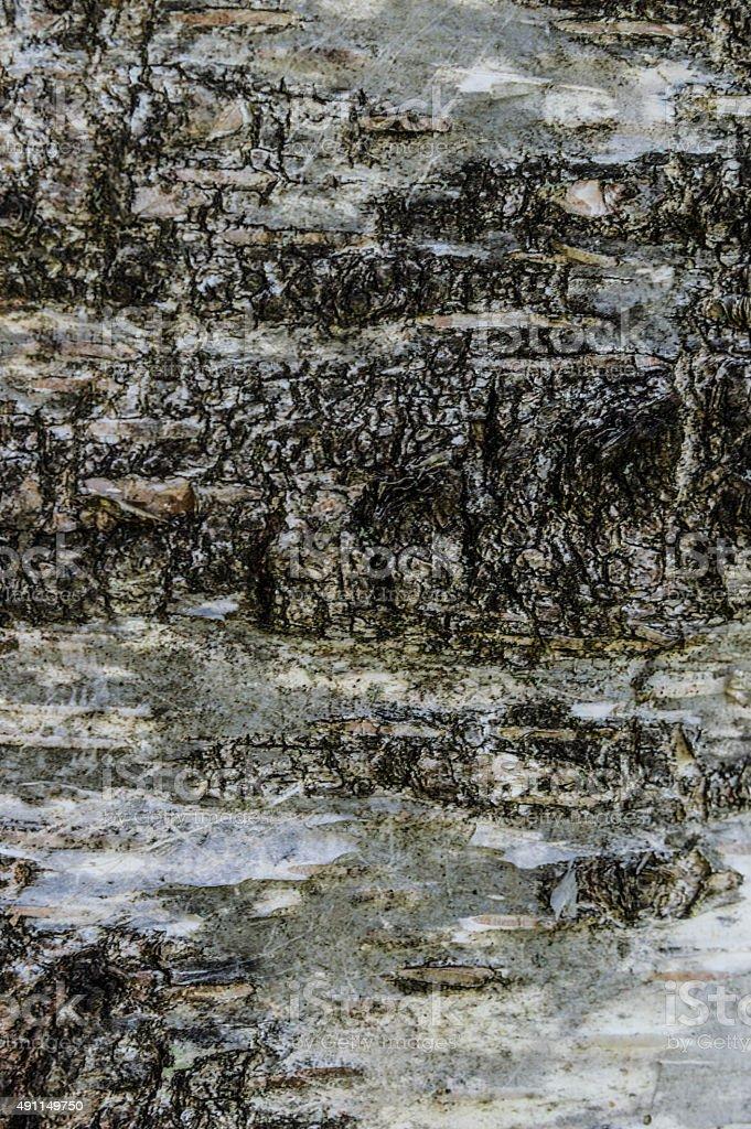 Bark of the silver birch texture and background stock photo