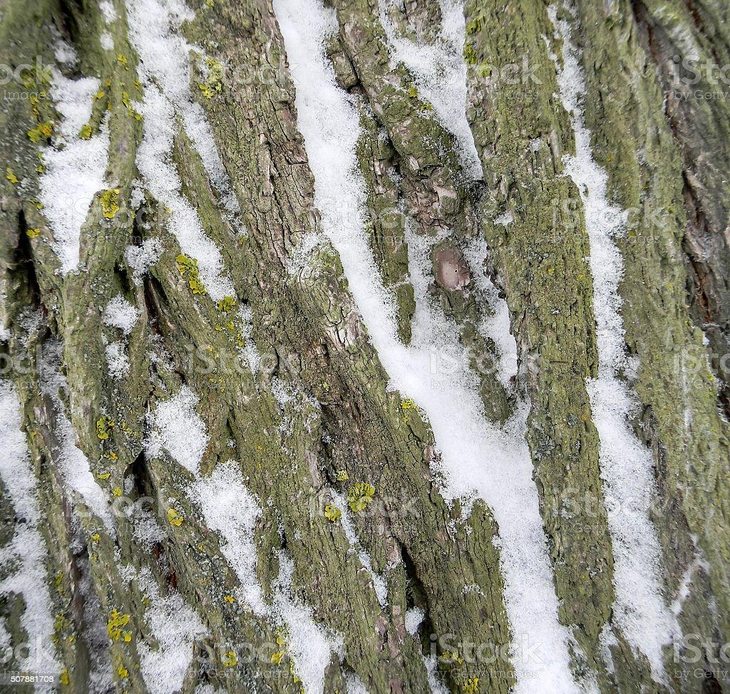 Corteza de árbol de nieve foto de stock libre de derechos