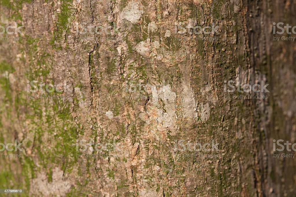 Bark of tree texture, may use as background royalty-free stock photo