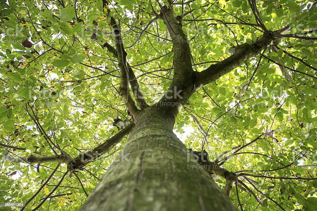 Bark of walnut tree stock photo