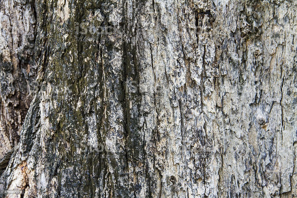 Bark texture, tropical tree in the northeast of Thailand royalty-free stock photo