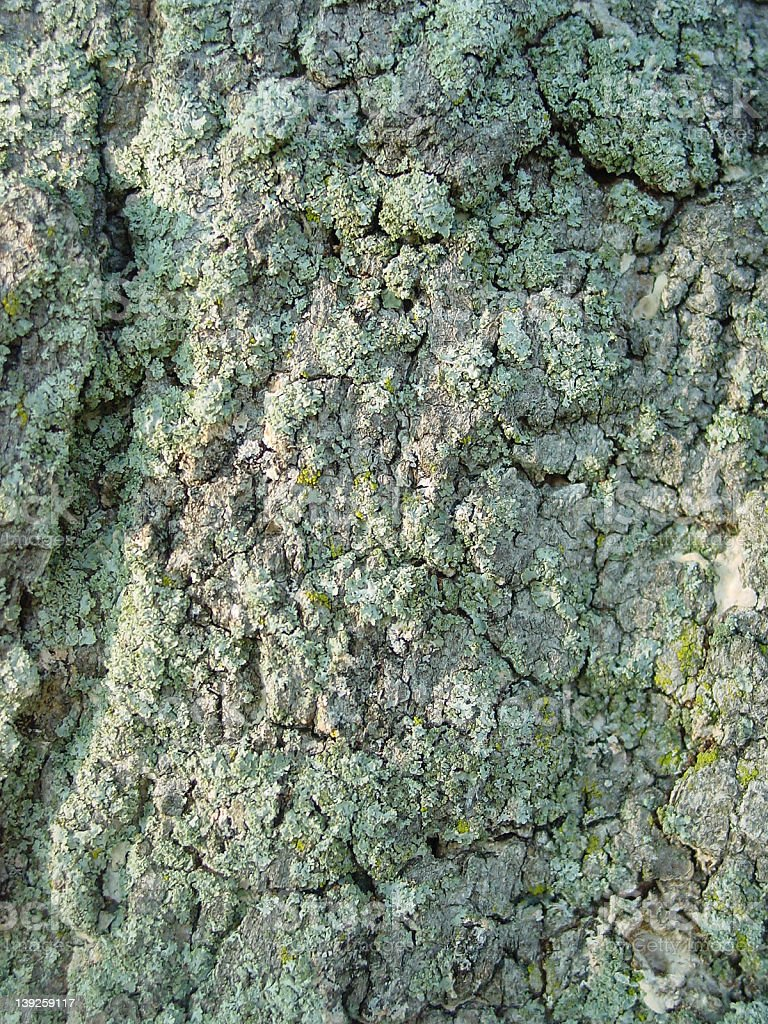 Bark with Lichen royalty-free stock photo