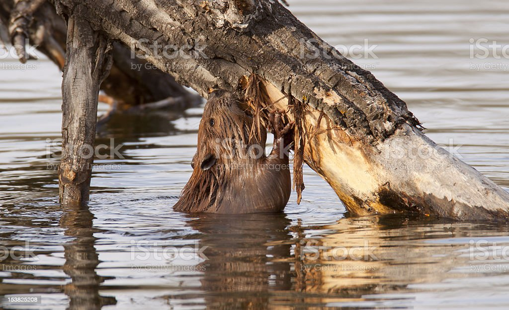 Barking Beaver royalty-free stock photo