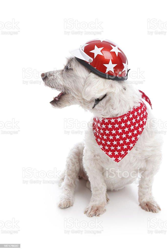 Barking Biker Dog stock photo