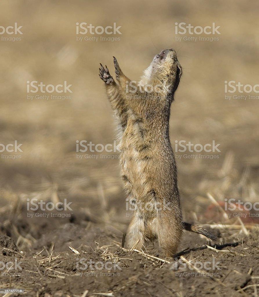 Barking Black-tailed prairie dog at burrow Denver Colorado stock photo