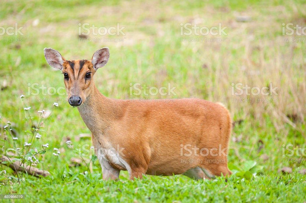 Barking deer in a field of grass stock photo
