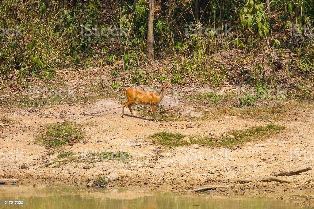 Barking Deer in forest stock photo