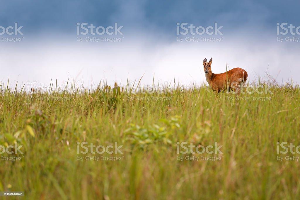 Barking deer in Khao Yai National Park, Thailand. stock photo