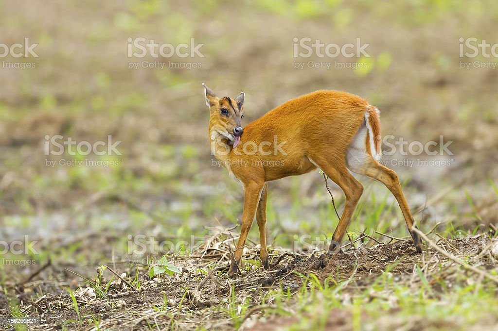 Barking deer licking and cleaning stock photo
