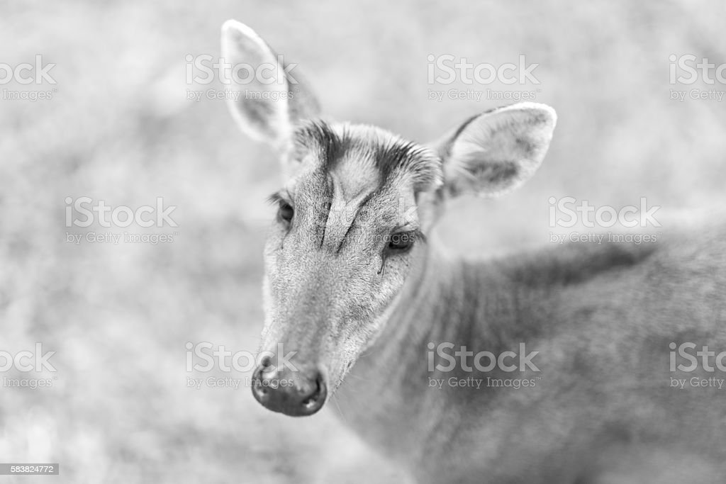 Barking deer on nature field, black and white stock photo