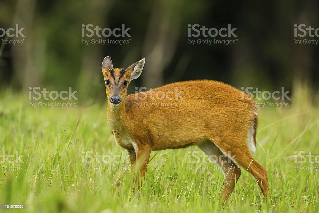 Barking deer royalty-free stock photo