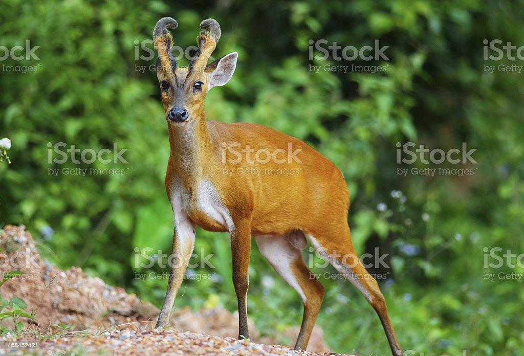 barking deer stock photo