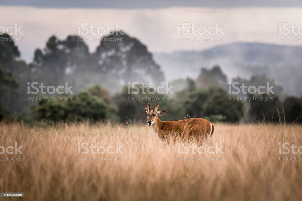 Barking Deer with a nice pose Khao Yai National Park stock photo