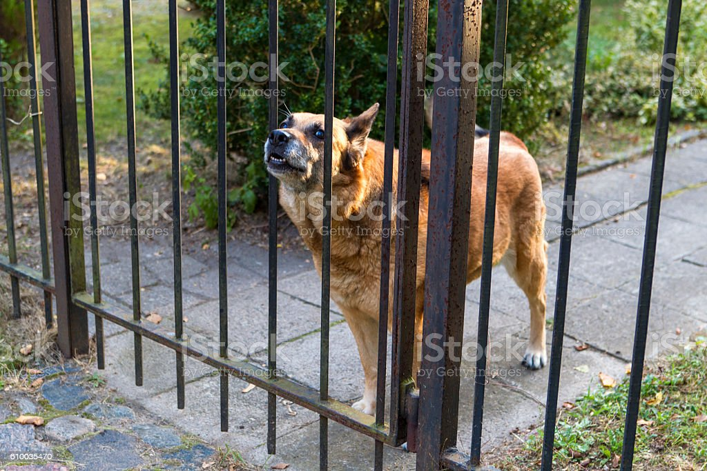 Barking dog behind the fence stock photo