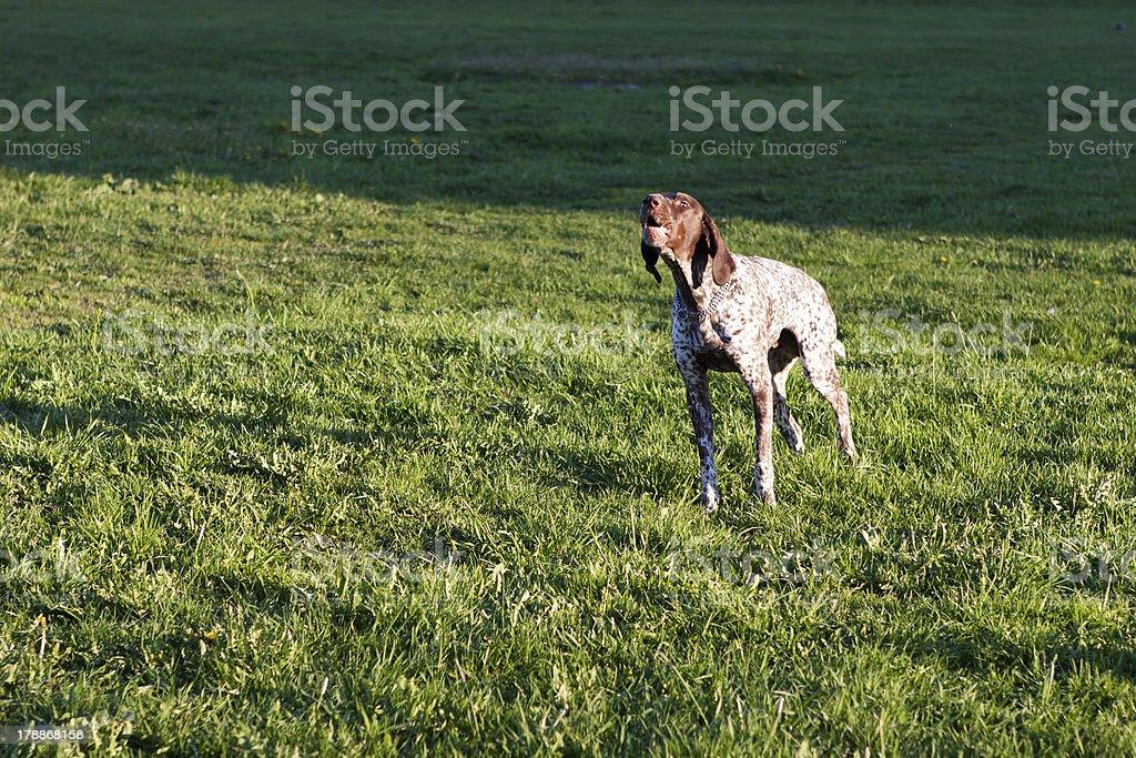 barking dog royalty-free stock photo