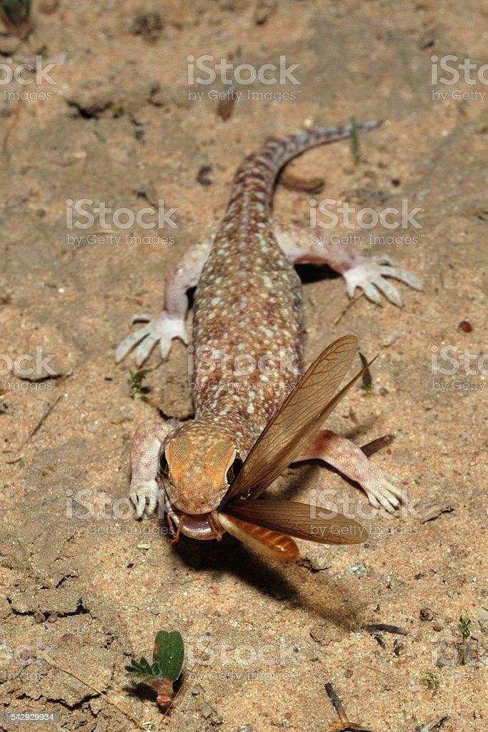 Barking gecko eating termites allates stock photo