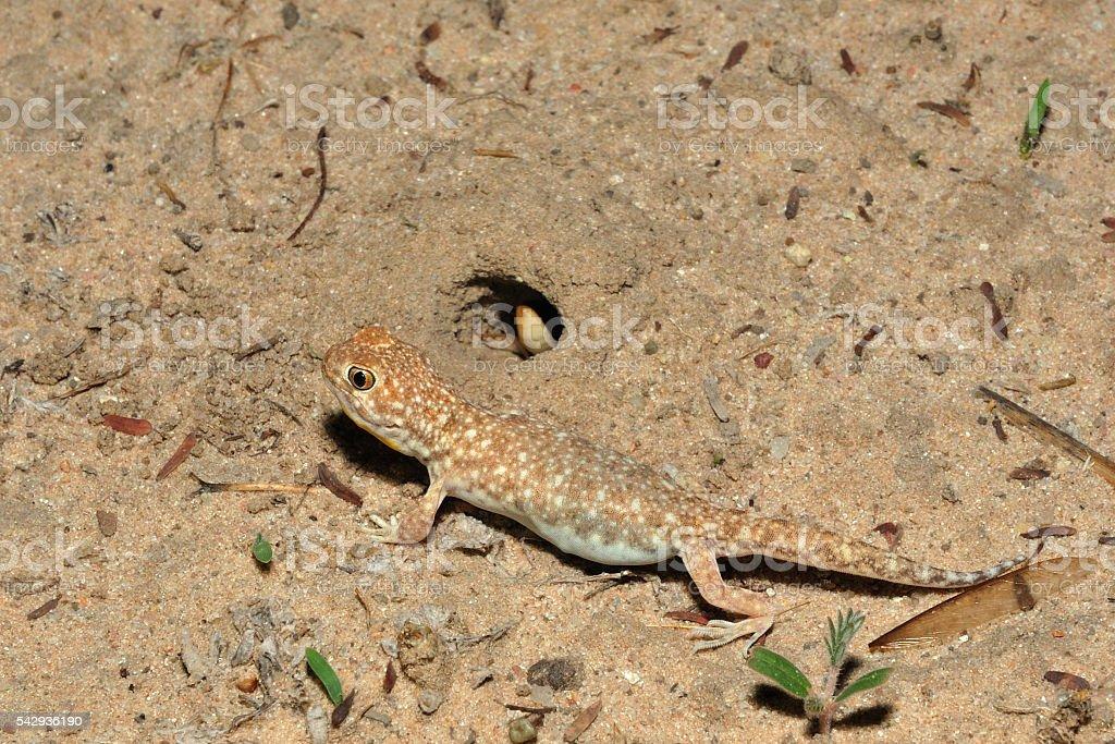 Barking gecko stock photo